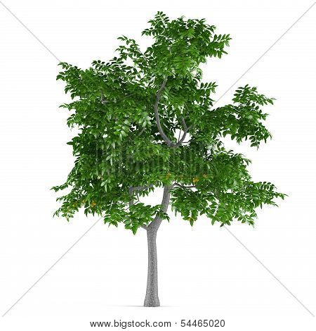 Fruit ree isolated. Citrus limon