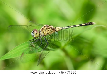 Yellow-Striped Dragonfly
