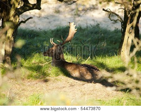 Male Fallow Deer (dama Dama) In The Waterleidingduinen, The Netherlands