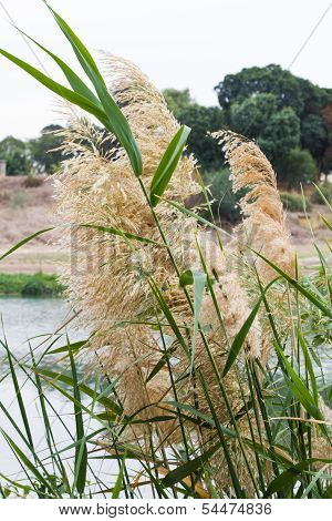 Reeds On The Lake.