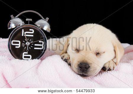 Labrador Puppy Sleeping On Blanket With Alarm Clock