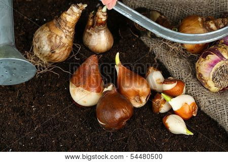 Composition with watering can, sackcloth and flower bulbs on humus, on dark background