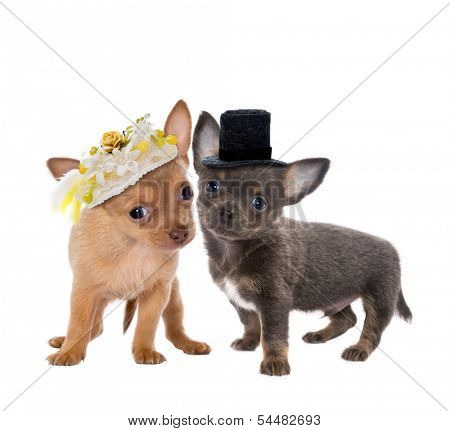 Two cute chihuahua puppies getting married