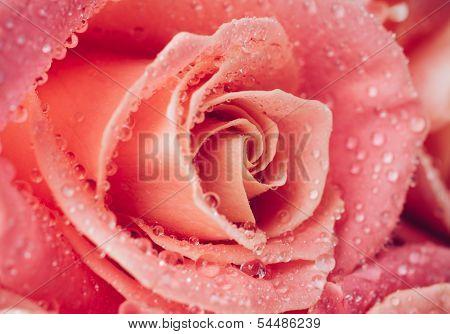 Flower Of Fresh Wet Rose