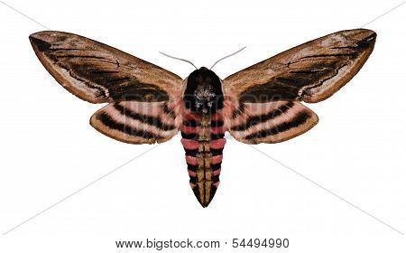 Privet Hawk Moth