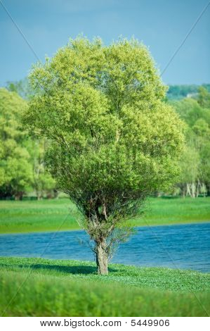 Isolated Green Summer Tree