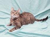 stock photo of heartwarming  - Tricolor striped cat lying looking up on pale green background - JPG