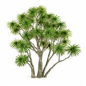 foto of australie  - Palm plant tree isolated - JPG
