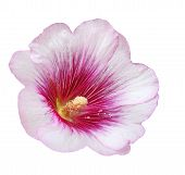 picture of hollyhock  - Pink Hollyhock flower head isolated on white background - JPG