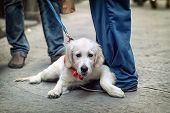 image of dog-walker  - People walking on the street with dog on leash  - JPG