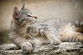 stock photo of tabby-cat  - Striped tabby cat lying  - JPG