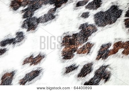 White, Brown And Black Spotted Cowhide On Display