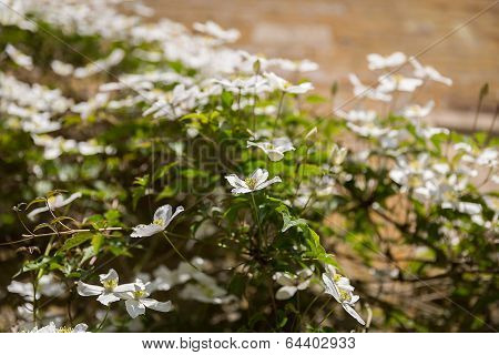 Spring Flowers Clematis