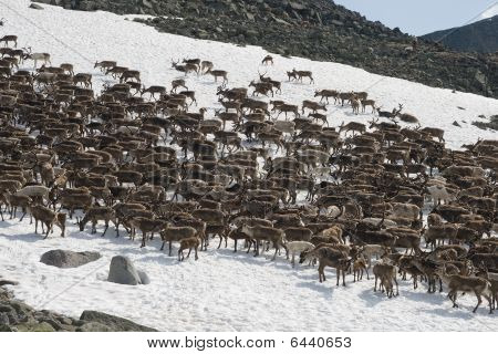 Herd Of Reindeers
