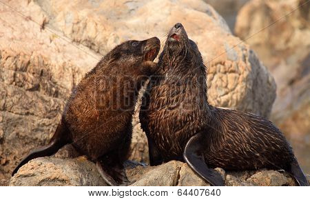 Baby Fur Seals Playing