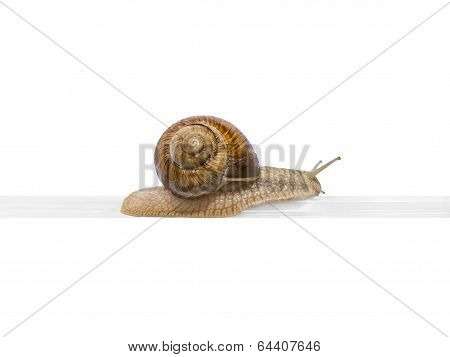 Elevated railway! Burgundy snail on a plastic rail (isolated)
