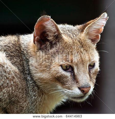 Cat (felis Chaus)
