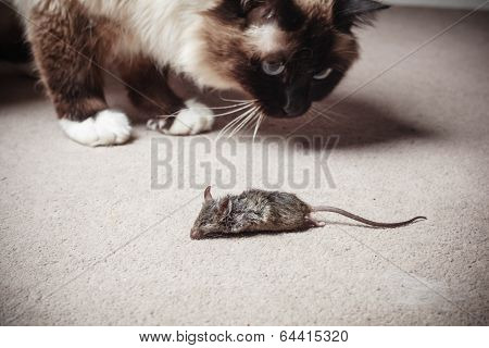 Cat Looking At Dead Mouse