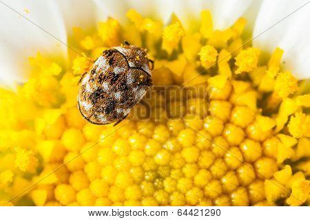 Cosmopolitan Beetle