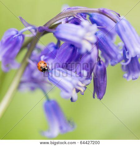 Bluebells & Ladybird