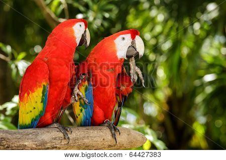 Portrait Of ..portrait Of Scarlet Macaw Parrots
