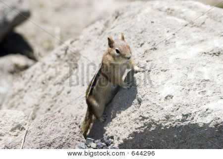 Mountain Squirrel