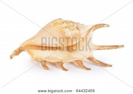 Sea Cockleshell Isolated On White Background