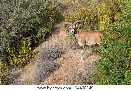 Cyprus Wild Mouflon
