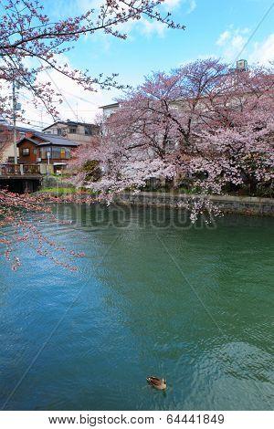 Lake Biwa Canal with sakura