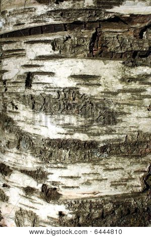 Birch Tree Trunck