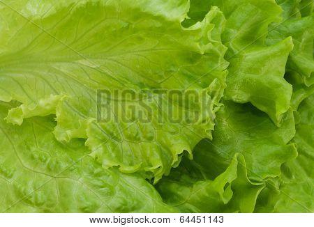 Lettuce Frillis  Texture
