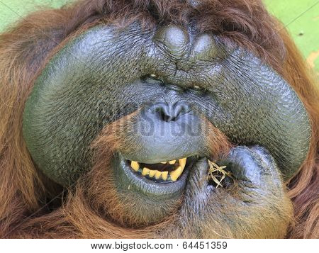 Big male Orangutan cleaning his teeth