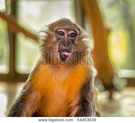 Funny Capuchin Monkey posing with tongue outside the mouth