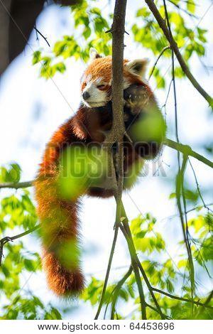 Red Panda sleeping on a branch