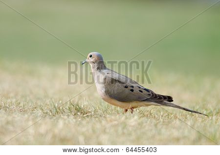 Mourning Dove On Grass