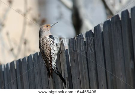 Northern Flicker On Fence