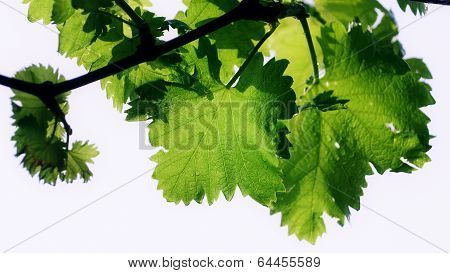 Grape vine leaves