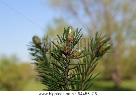 Young spruce