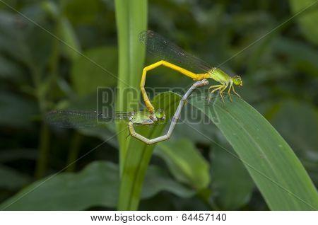 Mated Damselflies On Leaf