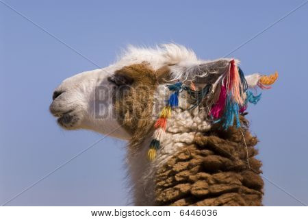 Llama A High Altitude Camelid From South America