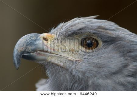 Crowned Solitary Eagle (harpyhaliaetus Coronatus)