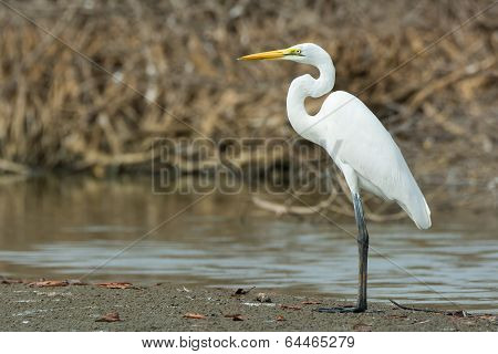 Great White Egret Standing In The Mangroves