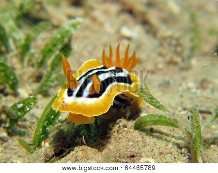 Pyjama nudibranch