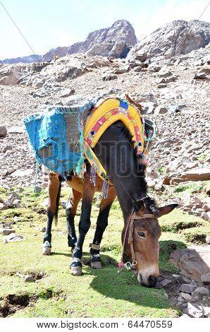 Mule Grazing Grass