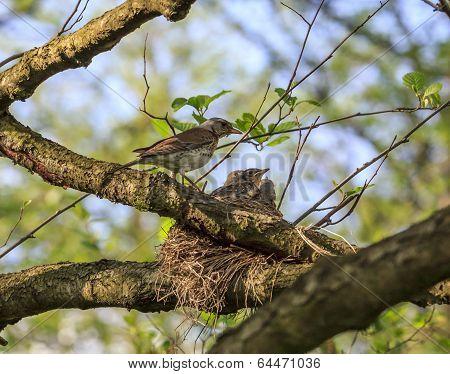 Turdus Pilaris Bird Feeding Its Nestlings