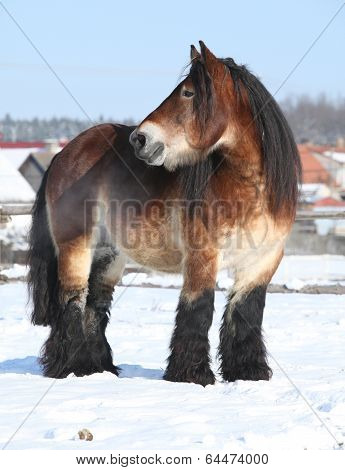 Dutch Draught Horse Stallion In Winter