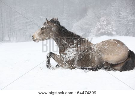 Nice Quarter Horse Rolling In The Snow