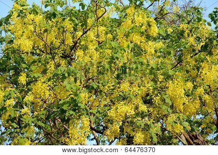 Golden Shower Flower (cassia Fistula)