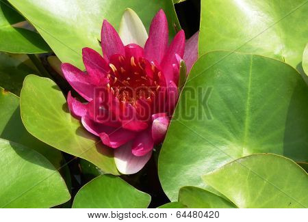 Water lily in closeup