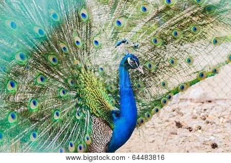 Portret of beautiful peacock with bright turquoise feathers